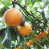 旬の味覚を食べ放題!新潟県の梨狩りスポット8選