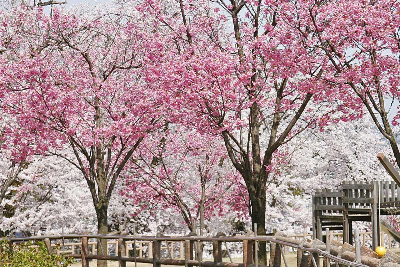 k140325経塚山公園-桜ヨコ03-m