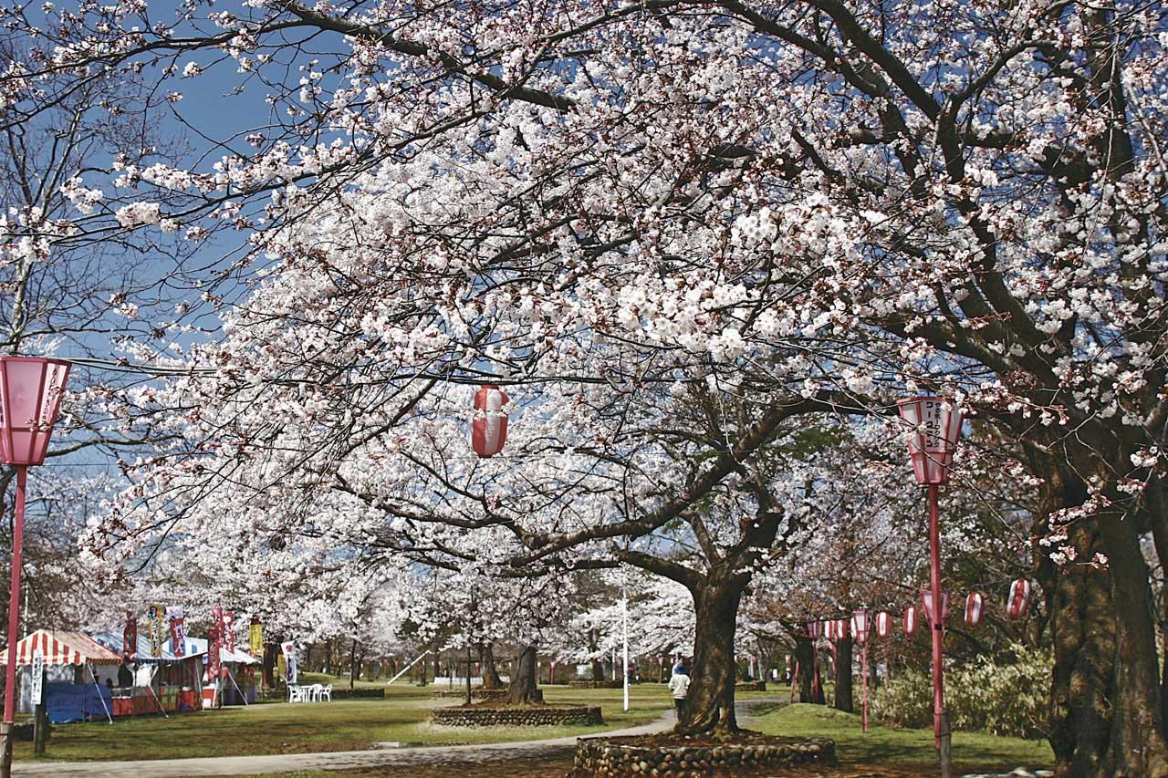 HB0503赤坂山公園-桜3-L
