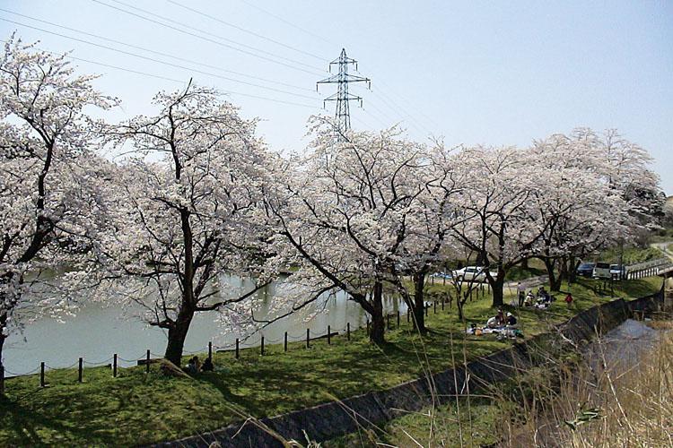 新江用水路桜並木750500