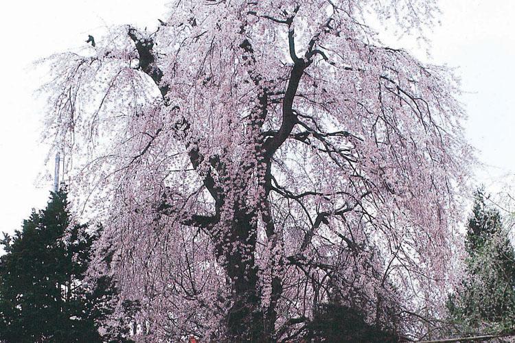 香林寺のしだれ桜750500