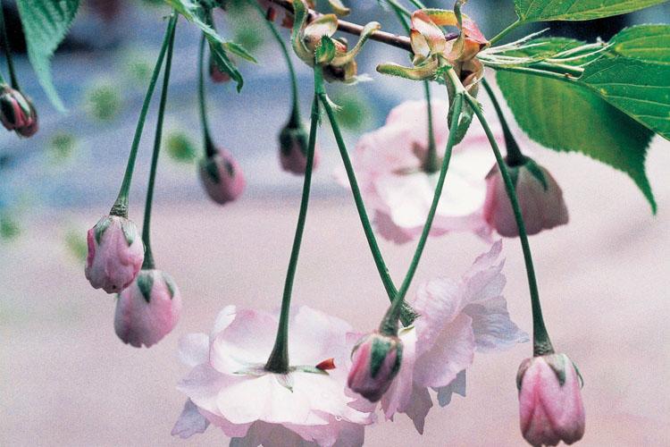 乙宝寺のきのと桜750500