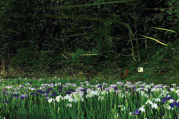 しらさぎ森林公園花菖蒲とホタル