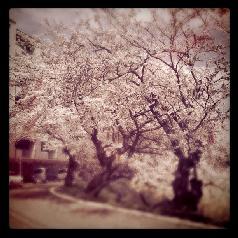 鳥屋野潟湖畔の桜並木 ほぼほぼ満開
