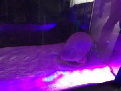 地球上最大のダンゴムシ「ダイオウグソクムシ」が上越にやってきた!