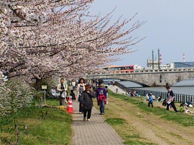 いま!やすらぎ堤の桜