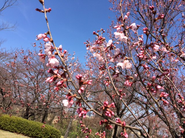 2016桜開花情報:彼岸桜咲き始めています.(県立図書館)