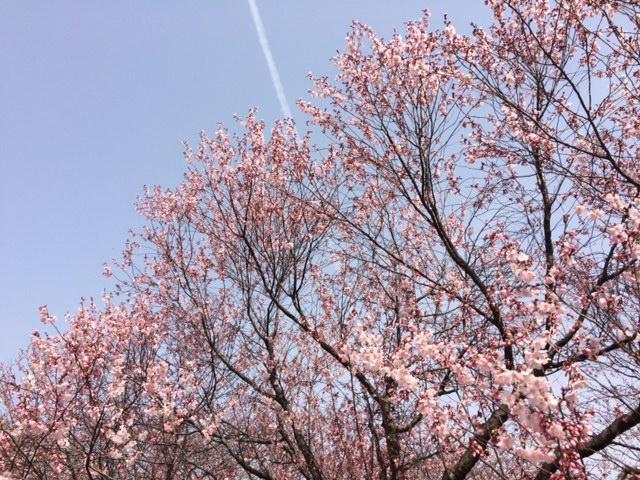 2016桜開花情報:なぜか1本だけ見事に咲き乱れ(県立図書館)