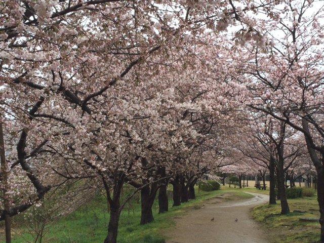 2016桜開花情報:ソメイヨシノ咲いています(県立図書館)
