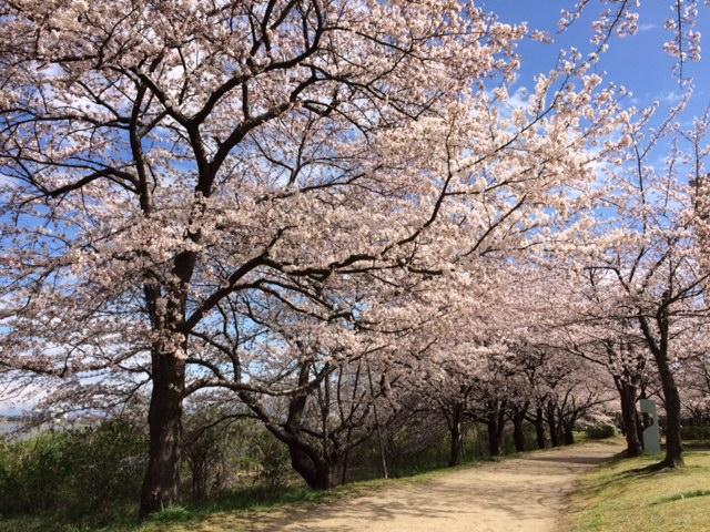 2016桜開花情報:鳥屋野潟公園女池8〜9分咲き(県立図書館)