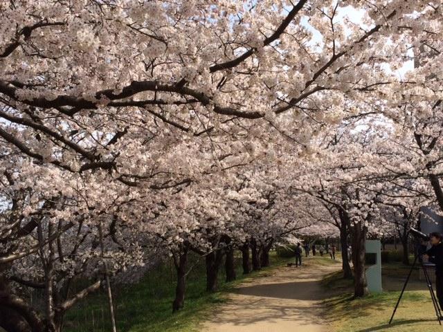 満開♪鳥屋野潟公園女池(県立図書館):2016桜開花情報