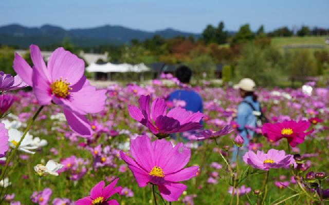 10月23日(日)まで!長岡丘陵公園の「コスモスまつり」