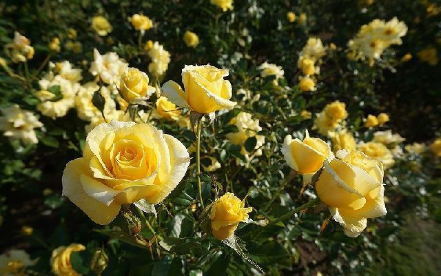 今が見ごろ!長岡・越後丘陵公園「香りのばらまつり」