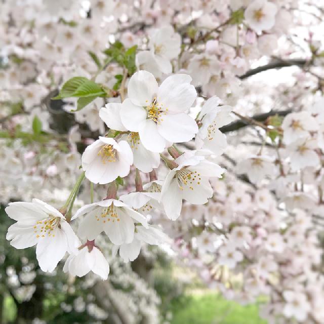 鳥屋野潟周辺の桜が見ごろを迎えています♪