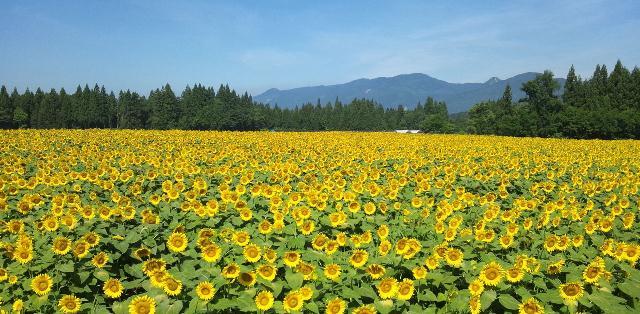 50万本が咲き誇る!津南・夏の風物詩「ひまわり広場」で非日常体験