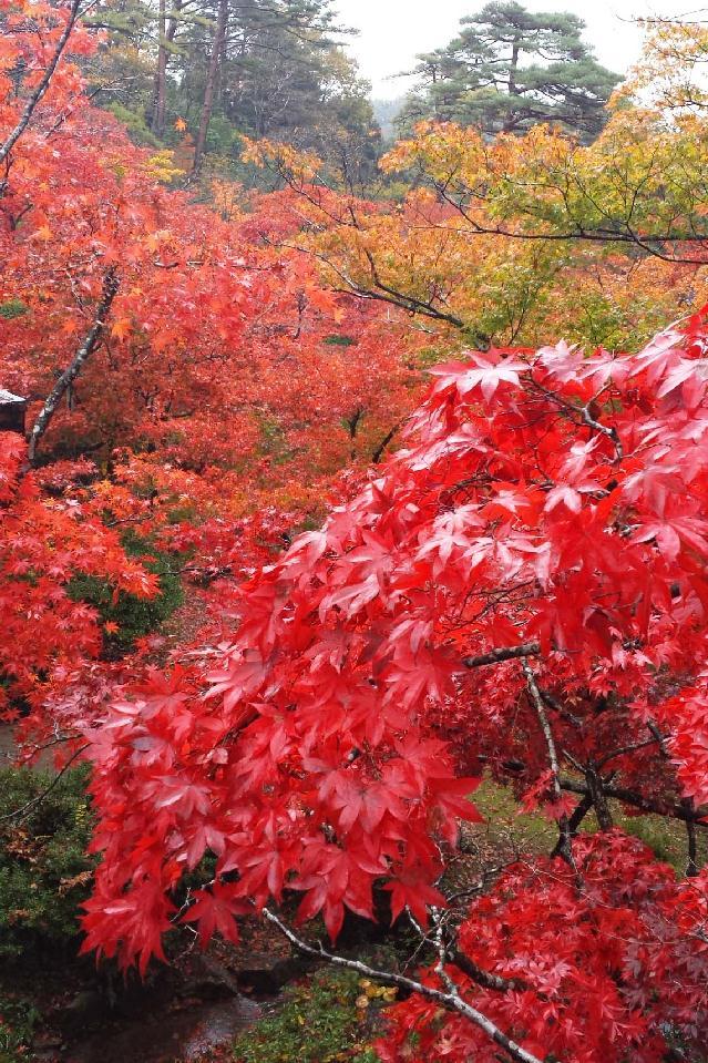 弥彦公園の紅葉が見頃でした〜!!