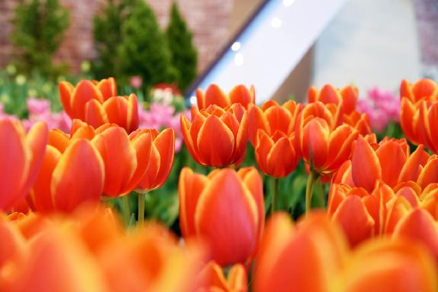 春をおすそ分け♪越後丘陵公園で「アイスチューリップ」プレゼント!
