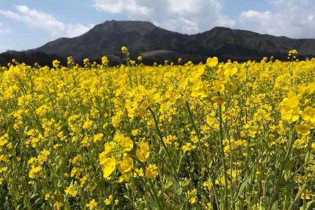 上堰潟公園(西蒲区)の菜の花が見頃を迎えています!
