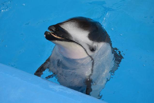 マリンピア日本海のイルカ 7月中旬ベビー誕生予定!まもなく産休へ