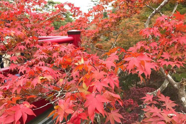 今、すごくキレイです!弥彦村の「弥彦公園もみじ谷」で紅葉を堪能!