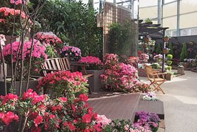 観賞温室の企画展「にいがたの花 アザレア展」
