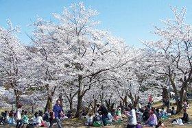悠久山桜まつり