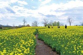 ハートランド妙高 菜の花畑