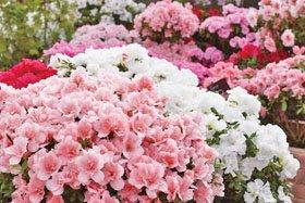 観賞温室の企画展にいがたの花 アザレア