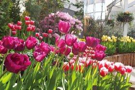 観賞温室の企画展「にいがたの花 チューリップ」