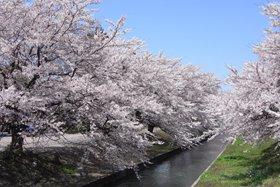 阿賀野市桜まつり