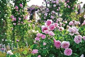 【花の観賞のみ】香りのばらシーズン
