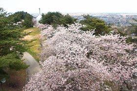 <花見スポット> 秋葉公園