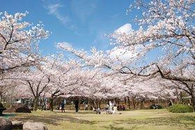 <花見スポット> 新潟県立鳥屋野潟公園