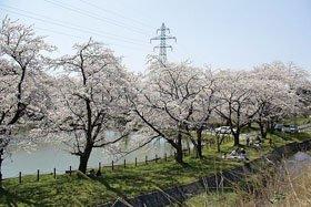 <花見スポット> 新江の桜並木