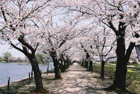 <花見スポット> 瓢湖水きん公園