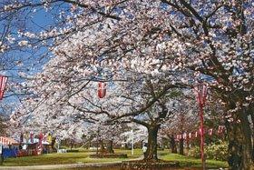 <花見スポット> 赤坂山公園