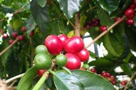 企画展示「人と植物のかかわり コーヒー」