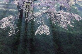 米美知子の新春写真展 桜(はな)もよう