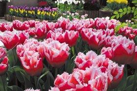 企画展示「にいがたの花チューリップ」