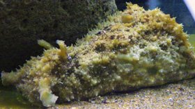 干支魚 ウミウシの仲間たち