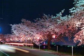 第41回新潟とやの湖桜まつり