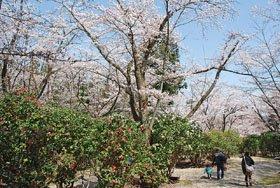 <花スポット・桜>加茂山公園