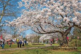 <花スポット・桜>赤坂山公園