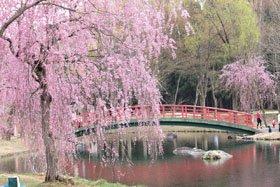 <花スポット・桜>湯沢中央公園