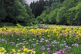 <花スポット・アヤメ>五十公野公園