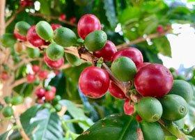 新潟県立植物園 観賞温室「人と植物のかかわり コーヒー」