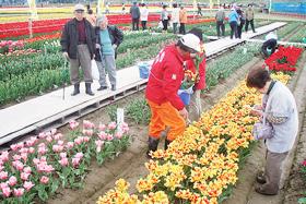 150万本の色とりどりのチューリップが咲く