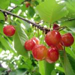 初夏の果実狩りの定番!新潟県内の人気サクランボ狩り3スポットまとめ