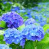 梅雨ならではの楽しみ!新潟県内の人気アジサイ鑑賞スポットまとめ