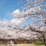定番から穴場まで桜の名所がズラリ。新潟のお花見スポット64選